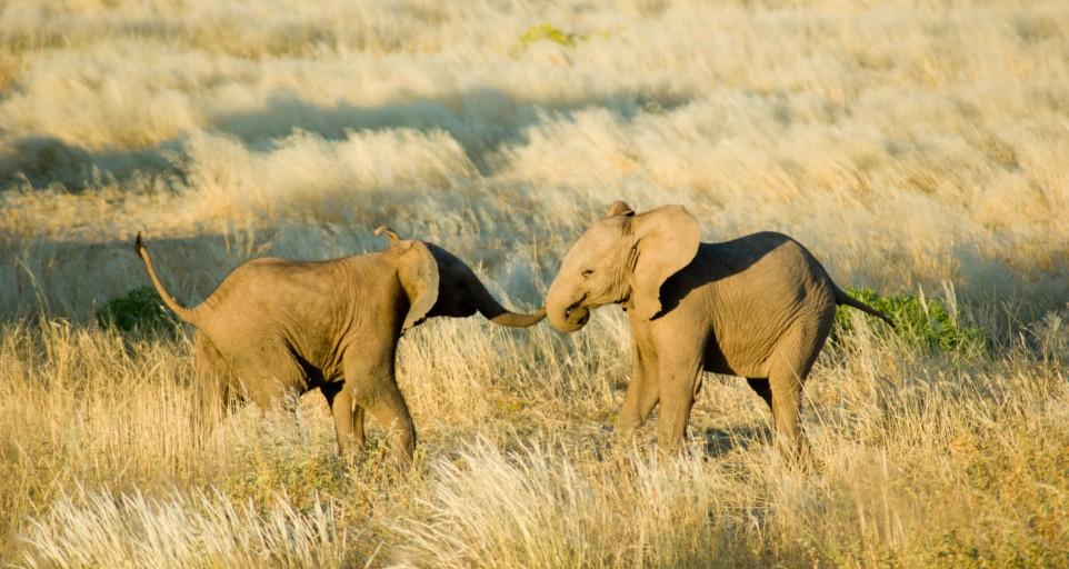 elephant-jaune-Damaraland