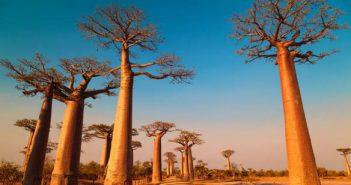afrique-decouvrir-voyager-paysage-foret-baobab